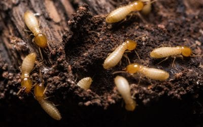 Five Ways to Prevent Termites in Your Home